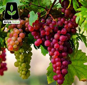 نهال انگور
