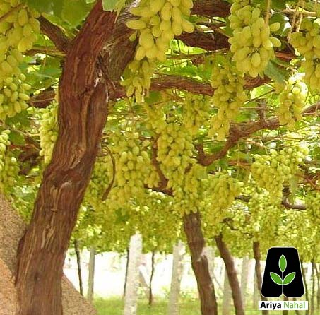 خرید نهال انگور عسگری
