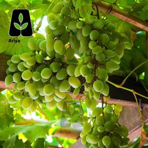 نهال انگور لعل حسینی