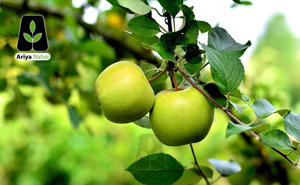 نهال سیب اسمیت