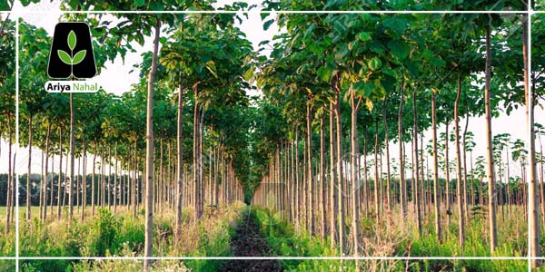 درختان پالونیا
