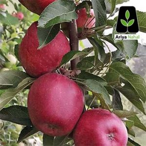 سیب قرمز فرانسه