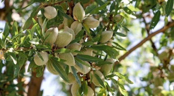 درخت بادام