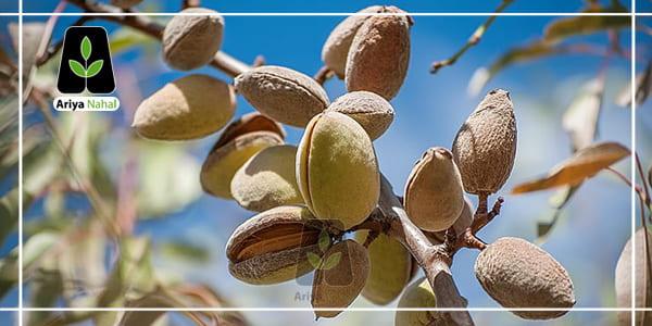 بادم درختی یکی از ارقام درخت بسیار پر کشت در ایران می باشد.