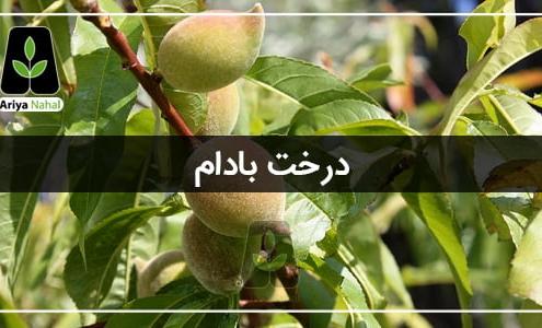 درخت بادام یکی از پر سرفدار ترین درختان مثمر ثمر در ایران می باشد.