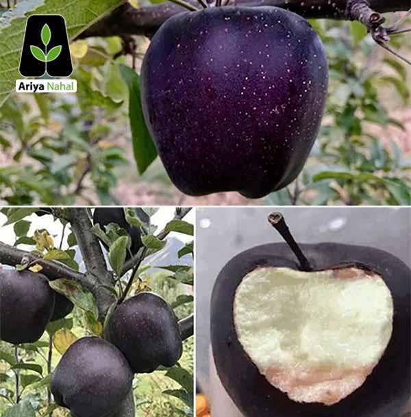 نهال سیب میراکل