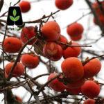 خرمالو گوجه ای