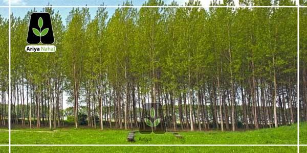 درخت صنوبر