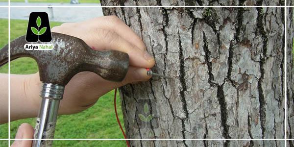 میخ زدن به درخت گردو
