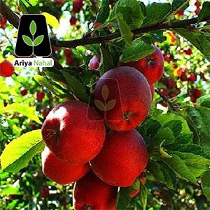 نهال سیب پنج پر