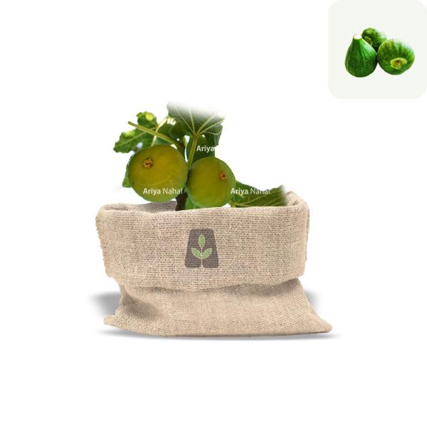 نهال انجیر سبز