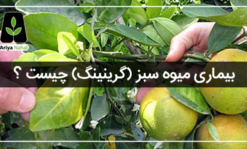 بیماری میوه سبز