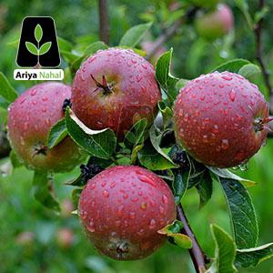 نهال سیب رویال