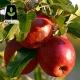 نهال سیب عروس