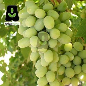 انگور رازقی