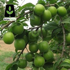 درخت گوجه سبز سلطانی