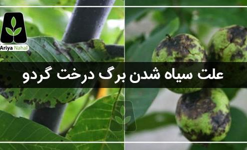 سیاهی برگ درخت گردو