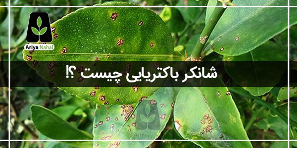 شانکر باکتریایی