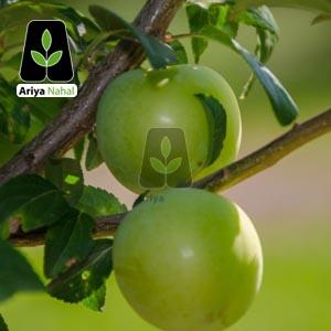 نهال گوجه سبز اذر شهر