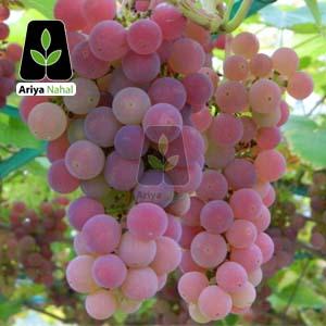 درخت انگور