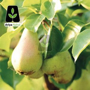 درخت گلابی کوشیا
