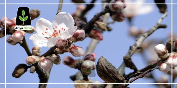 علت عدم باردهی درخت بادام