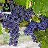 نهال انگور شرابی
