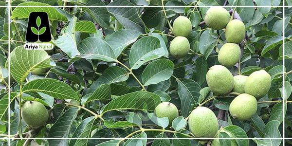 معرفی انواع درخت گردو