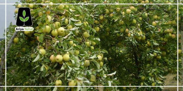 باردهی درخت سیب