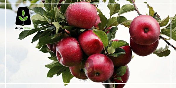 کاشت نهال سیب