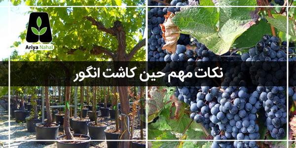 نکات کاشت درخت انگور