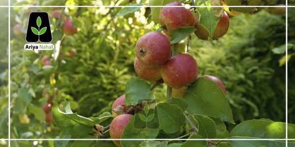 کاشتن درخت سیب