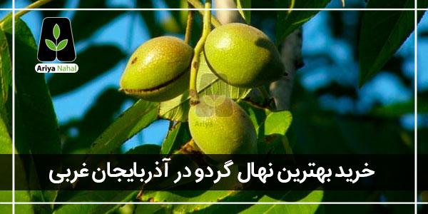 بهترین نهال گردو در آذربایجان غربی