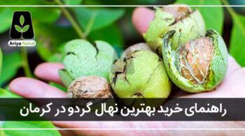 بهترین نهال گردو در کرمان
