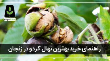 بهترین نهال گردو در زنجان